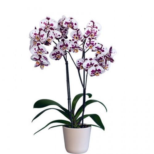 Купить на заказ Заказать Орхидея микс. с доставкой по Экибастузу с доставкой в Экибастузе